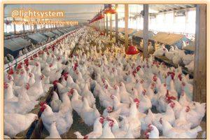 قیمت مرغ به ۸۶۰۰ تومان رسید